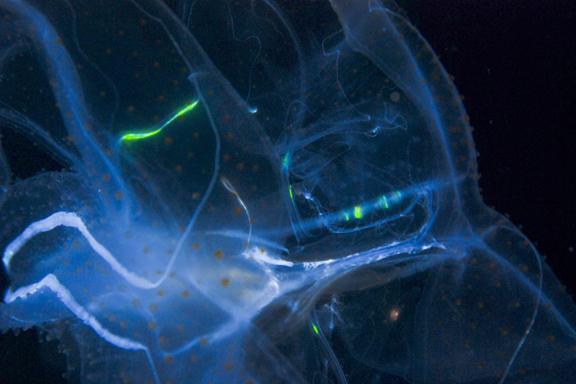"""Bioluminescence - otherwise known as """"nature's light"""", is heat-free and great for medical, military and myriad other pollution-free applications. Photo: Joshua Lambus, FlickrCC."""