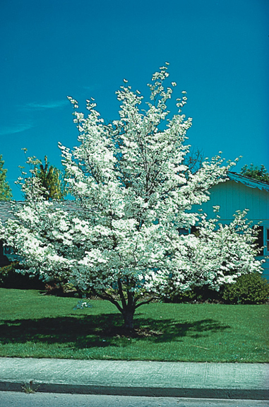 A Colorado blue spruce or white dogwood.