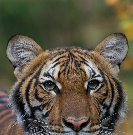 Nadia, a 4-year-old female Malayan tiger at the Bronx Zoo, has tested positive for COVID-19. PhotoL WCS/ Julie Larsen Maher
