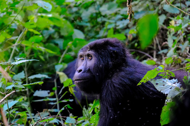 Coronavirus could be the knock-out punch for African mountain gorillas already on the brink of extinction. Photo: Francesco Ungaro, Pexels.