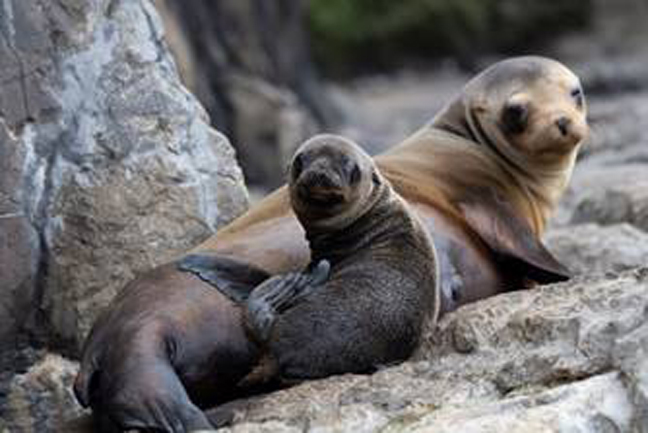 Some very lucky aquarium visitors were treated to an unusual surprise on Memorial Day this year. A California sea lion pup (Zalophus californianus) was born in full view of the morning crowd. Photo Credit: Julie Larsen Maher WCS