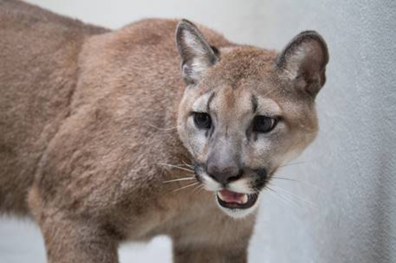 There was a collaborated effort last week to remove an 11-month-old, approximately 80-pound, female cougar from a New York City home. Photo: Humane Society